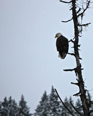 Eagle_intree