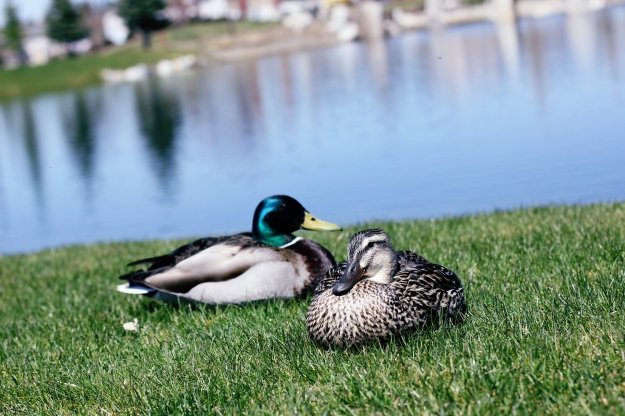 Just a couple of ducks, sunbathing.
